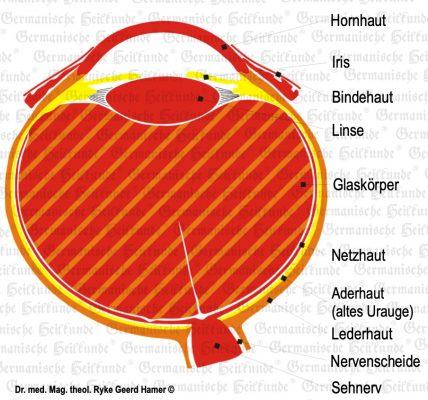 grafik organ auge