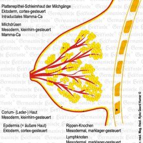 Organ Brust – Symptome nach der Germanischen Heilkunde