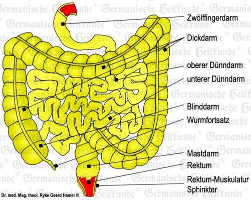 grafik organ darm