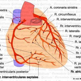 Organ Herz – Symptome nach der Germanischen Heilkunde