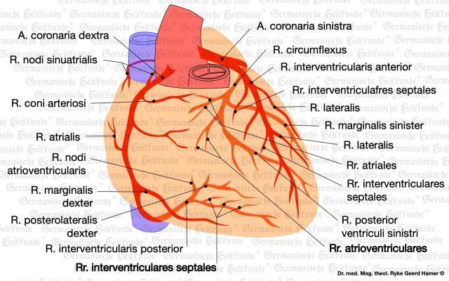 grafik organ herzkranzgefaesse