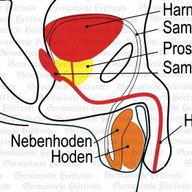 Organ Hoden – Symptome nach der Germanischen Heilkunde