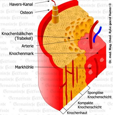 grafik organ knochenhaut