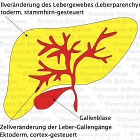 Organ Leber – Symptome nach der Germanischen Heilkunde