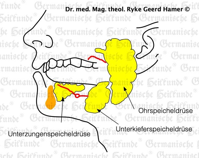 grafik organ speicheldruese