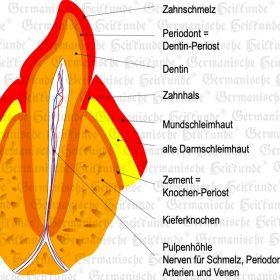 Organ Zähne – Symptome nach der Germanischen Heilkunde