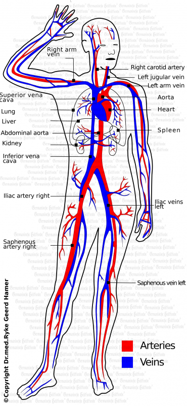 Blutgefaesse E