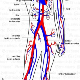 Orgaan bloed – symptomen volgens de Germanische Heilkunde