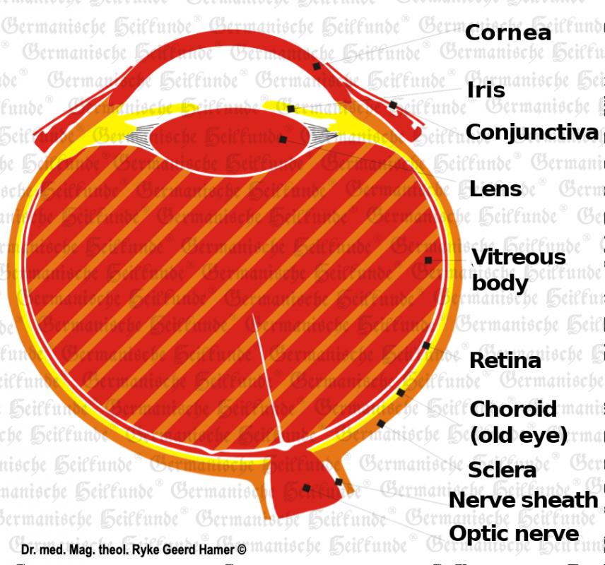 organ-eye