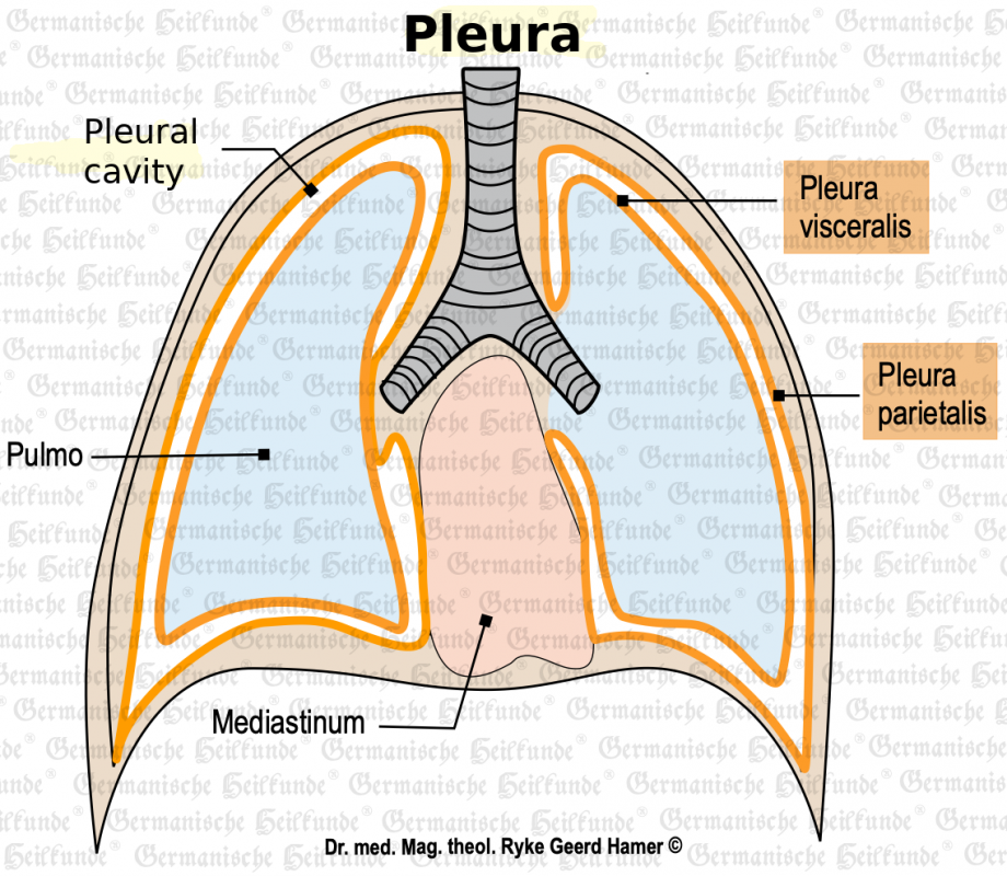 grafik organ brustfell 1