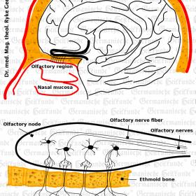 Organ Nose - Symptoms according to Germanische Heilkunde®