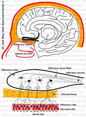 grafik organ riechnerv