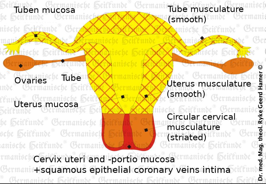 organ uterus