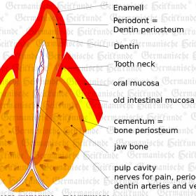 Organ Teeth - Symptoms according to Germanische Heilkunde®