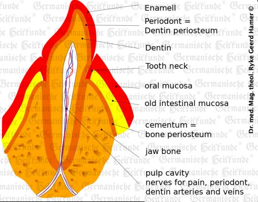 grafik organ zahn