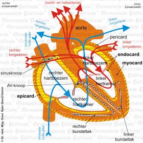 Orgaan hart – symptomen volgens de Germanische Heilkunde