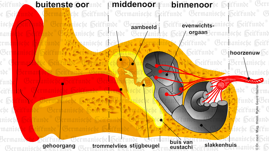 graphic organ middle-ear